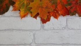 Härlig höstfärglönnlövgräns på vit tegelstenbakgrund Royaltyfri Fotografi
