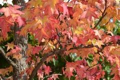 Härlig höstlig närbildsikt till purpurfärgade sidor av ett träd exponerat av solskenet royaltyfria foton