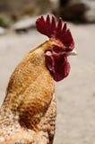 Härlig hane i nepalese bergby Royaltyfria Bilder