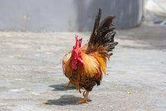Härlig hane i parkera Royaltyfri Fotografi