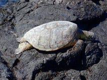 Härlig havssköldpadda som vilar på Mahai 'ulastrand arkivbilder