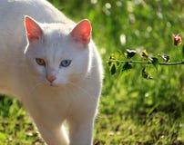 Härlig Heterochromatic katt Royaltyfria Bilder