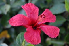 Härlig hibiskusblomma i morgondagget Arkivbilder