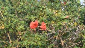 Härlig hibiskusblommagunga i vinden stock video