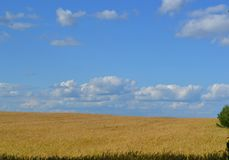 härlig himmel på ett gult fält fotografering för bildbyråer