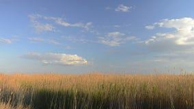 Härlig himmel till och med vasserna Silverfjädergräs som svänger i vind arkivfilmer