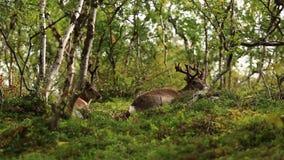 Härlig hjort ligger i en röjning i skogen lager videofilmer