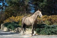 Härlig hjortläderwelsh ponny som poserar i trevligt ställe arkivfoto