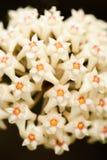 Härlig Hoya parasitica Roxb vägg Före dettaWight med nektar Vit blomma för isolat på svart bakgrund Fantastisk textur brigham royaltyfri foto