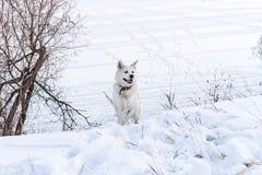 Härlig hund Akita Inu i den felika skogen för vinter på en vintersemester Royaltyfria Bilder
