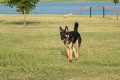 Härlig hund för tysk herde i en lek av fetchen Arkivbild