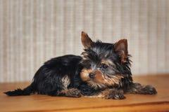 Härlig hund för valpYorkshire terrier hemma arkivbilder
