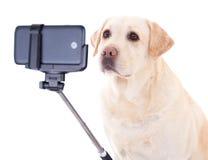Härlig hund & x28; guld- retriever& x29; ta selfiefotoet som isoleras på royaltyfri fotografi