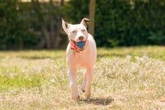 Härlig hund med en boll i hans mun som spelar på en parkera Arkivfoto