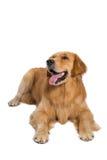 Härlig hund som ner sitter - isolerat över en vit bakgrund arkivbild