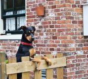 Härlig hund som ser över det trädgårds- staket arkivfoton