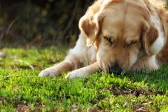 Härlig hundgolden retriever i sommaren som vilar i natur Arkivbild