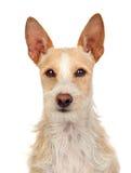 härlig hundportugis Royaltyfria Foton