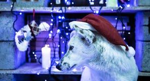 härlig hundwhite behandla som ett barn fotoet för modern för den julclaus hatten som leker s santa som slitage tillsammans lyckli Arkivfoton