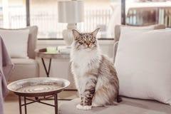 Härlig huvudsaklig tvättbjörnCat Sitting On A stol royaltyfri bild