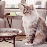 Härlig huvudsaklig tvättbjörnCat Sitting On A stol royaltyfri fotografi