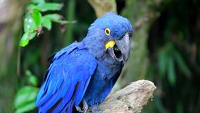Härlig Hyacinth Macaw Perched On Tree filial stock video