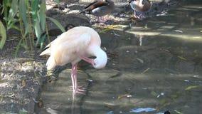 Härlig ibis och and i vatten waterfowl stock video