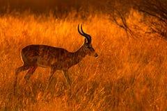 Härlig impala i gräset med aftonsolen Djur i naturlivsmiljön Solnedgång i Afrika djurliv arkivbild