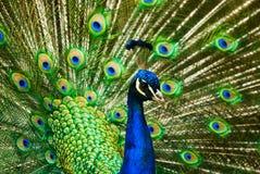 härlig indisk male påfågel royaltyfri foto