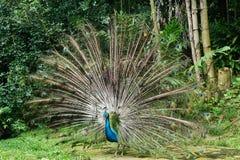 Härlig indisk Peafowl Arkivfoto