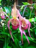 Härlig intensiv orkidéblomma Fotografering för Bildbyråer