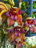 Härlig intensiv orkidéblomma Arkivbild