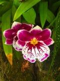 Härlig intensiv rosa vit blomma Arkivbild