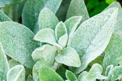 Härlig intressant blomma för Stachysbyzantina arkivfoto
