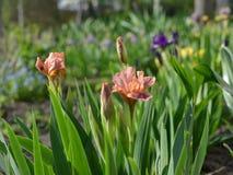 härlig iris royaltyfri bild
