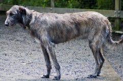 härlig irländsk wolfhound royaltyfri foto
