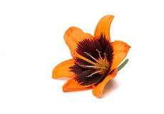 härlig isolerad lilja Arkivbild