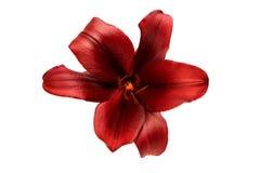 härlig isolerad lilja Royaltyfri Fotografi