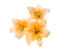 härlig isolerad lilja Arkivfoto