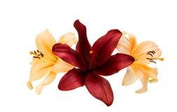 härlig isolerad lilja Royaltyfri Foto