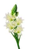 härlig isolerad liljawhite royaltyfri fotografi