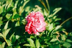 Härlig isolerad rosa aster Arkivbild