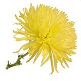 härlig isolerad white för chrysanthemum blomma royaltyfri fotografi