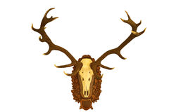 Härlig jakttrofé för röda hjortar över vit 1 Arkivfoton