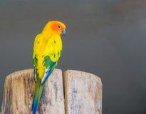 Härlig jandayapapegoja från baksidan som visar dess färgrika fjädrar och ser kameran royaltyfri foto