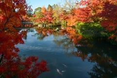 Härlig japansk dammträdgård med reflexioner för höstlönnträd och den färgrika fisken Royaltyfria Bilder