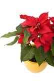 härlig juljulstjärnastjärna Arkivbilder
