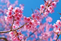 Härlig körsbärsröd blomning, fotografering för bildbyråer