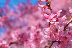 Härlig körsbärsröd blomning, arkivbild