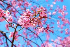 Härlig körsbärsröd blomning, arkivfoto